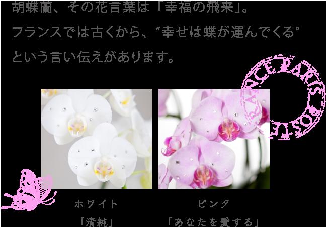 """胡蝶蘭、その花言葉は「幸福の飛来」。フランスでは古くから、""""幸せは蝶が運んでくる""""という言い伝えがあります。"""