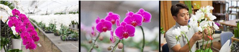 胡蝶蘭のモテギ洋蘭園取材
